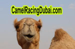 camel racing history